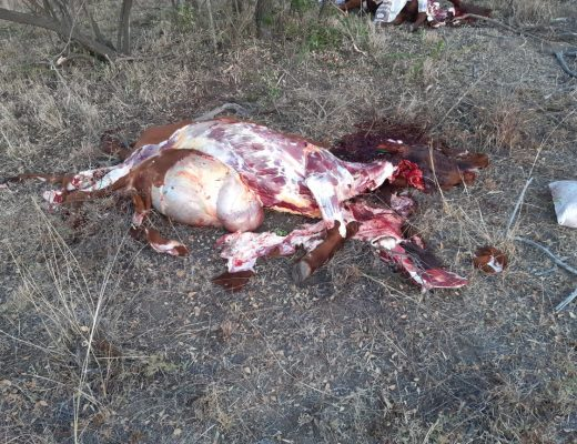 cattle found slaughtered